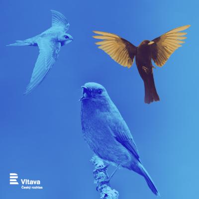 online / Rozhlasový ainternetový přímý přenos ptačího zpěvu